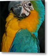 Tango, The Blue And Gold Macaw Metal Print