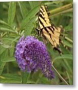 Tattered Tiger Swallowtail Butterfly          August         Indiana Metal Print