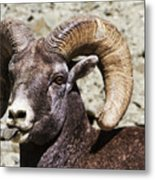 Taunting Bighorn Metal Print
