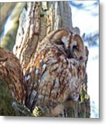 Tawny Owls Metal Print