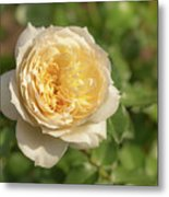 Tchaikovski Hybrid Tea Rose, White Rose Originally Produced By  Metal Print