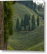 Tea Garden In Darjeeling Metal Print
