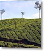 Tea Planation In Kerala - India Metal Print