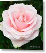 Tea Rose In Pink Metal Print