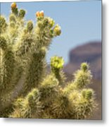 Teddy Bear Cholla Cactus With Flower Metal Print