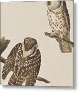 Tengmalm's Owl Metal Print