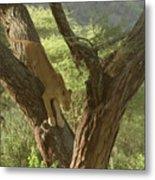 Terengeti Lioness Metal Print