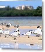 Terns At Fort Myers Metal Print
