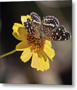 Texan Crescent Butterfly On Marigold-img_1348-2016 Metal Print