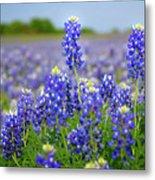 Texas Blue - Texas Bluebonnet Wildflowers Landscape Flowers  Metal Print
