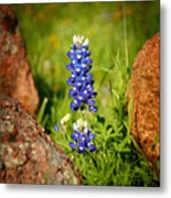 Texas Bluebonnet Metal Print by Jon Holiday