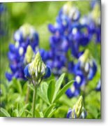 Texas Bluebonnets 003 Metal Print