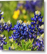Texas Bluebonnets 006 Metal Print