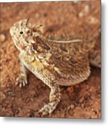 Texas Horned Lizard Metal Print
