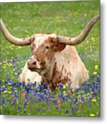 Texas Longhorn In Bluebonnets Metal Print by Jon Holiday