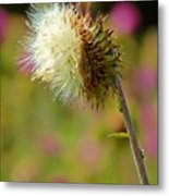 Texas Thistle 005 Metal Print