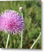 Texas Thistle Metal Print