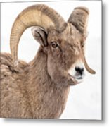 That Handsome Ram Metal Print