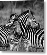 The Amazing Shot Of Zebra Metal Print