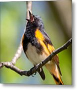 The American Redstart Metal Print