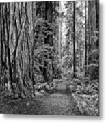 The Beautiful And Massive Giant Redwoods Metal Print