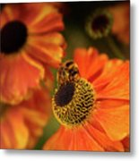The Bee And The Helenium Metal Print