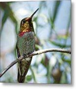 The Bird In The Foil Mask -- Anna's Hummingbird In Templeton, California Metal Print