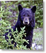The Black Bear Stare Metal Print