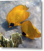The Bluecheeked Butterflyfish Metal Print