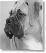 The Boxer Dog - The Gentleman Amongst Dogs Metal Print by Christine Till