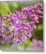 The Branch Of Lilac Metal Print