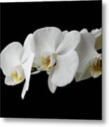 The Branch Of White Orchid On Black Background Metal Print