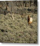 The Bull Elk Metal Print