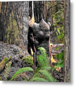 The Burly Bear Cub Close1 - Muir Woods National Monument - Marin County California Metal Print
