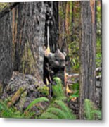 The Burly Bear Cub - Muir Woods National Monument - Marin County California Metal Print