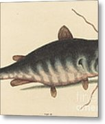 The Cat Fish (silurus Catus) Metal Print