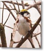 The Chestnut Warbler Metal Print