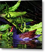 The Common Gallinule Metal Print