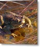 The Common Toad 1 Metal Print