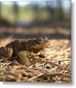 The Common Toad 4 Metal Print