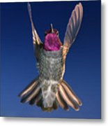 The Conductor Of Hummer Air Orchestra Metal Print