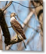 The Cooper's Hawk Metal Print