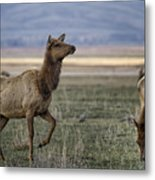 The Cow Elk Metal Print