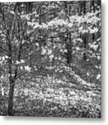 The Dogwoods Are Blooming It Must Be Spring. Metal Print