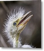 The Eager Great Egret Chick Metal Print