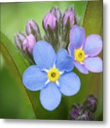 The First Blossom Of The Forget Me Not Metal Print