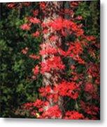 The First Maple Of Autumn Metal Print
