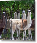 The Five Llamas Metal Print
