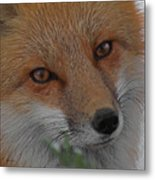 The Fox 4 Upclose Metal Print