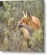 The Fox And Its Prey Metal Print